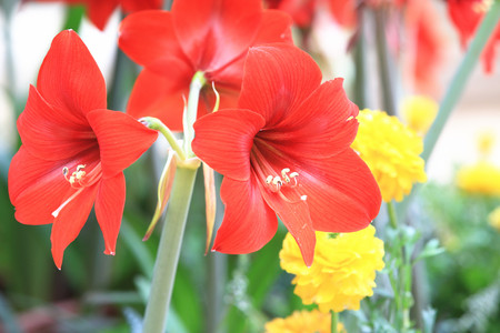 belladonna: Amaryllis,beautiful red flowers in full bloom in the garden in spring,closeup,knight star lily,mexican lily,belladonna lily