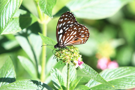 spotted flower: Blue Spotted Milkweed butterfly and flower,a beautiful butterfly on the flower in garden in spring