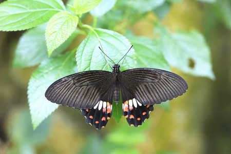 Common Rose Swallow butterfly and green leaf,a beautiful butterfly on the green leaf in garden in spring photo