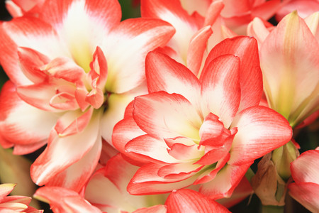 belladonna: Amaryllis,beautiful red with yellow flowers in full bloom in the garden in spring,closeup,knight star lily,mexican lily,belladonna lily