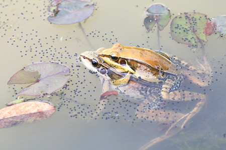 Taipei grass frogs mating,two frogs mating in the pond with frog eggs in spring,closeup,Striped slender frogs 版權商用圖片