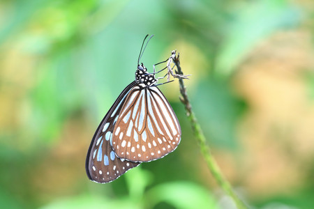 blue spotted: Blue spotted milkweed butterfly,a beautiful butterfly in the garden in summer Stock Photo
