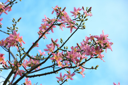 redbud: Bauhinia flowers, Redbud flowers, many beautiful pink flowers blooming in the park in autumn with blue sky