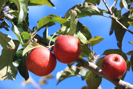 among: Red apples grow on the branch among the green foliage against the blue sky