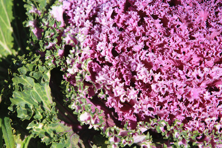 flowering kale: Color Cabbage closeup, beautiful colorful cabbage leaves with dew in winter, Ornamental Cabbage, Flowering Cabbage, Ornamental Kale