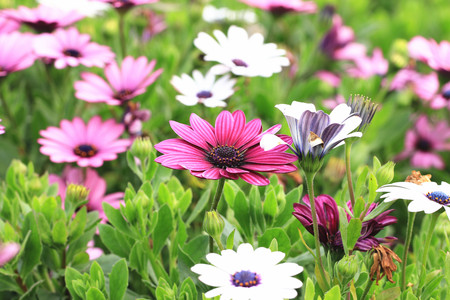african daisy: Blue-eyed Daisy, African Daisy, Cape Daisy, Spoon Daisy, beautiful red with purple and white flowers blooming in the garden