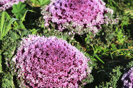 flowering kale: Color Cabbages closeup, beautiful colorful cabbage leaves with dew in winter, Ornamental Cabbage, Flowering Cabbage, Ornamental Kale