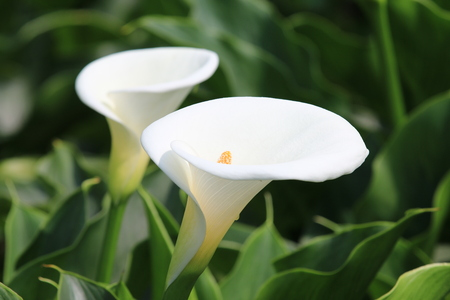Calla lily, closeup of beautiful white flowers in full bloom in spring, arum lily, gold calla