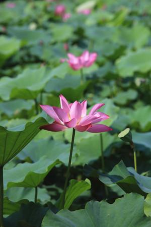 seedpod: Lotus flowers and seedpod, beautiful pink with purple lotus flowers blooming in the pond in summer