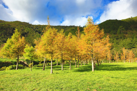 Bald cypress trees, many beautiful colorful trees growing on the field in autumn