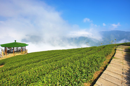 Beautiful landscape of tea plantation with arbor and trail in a sunny day