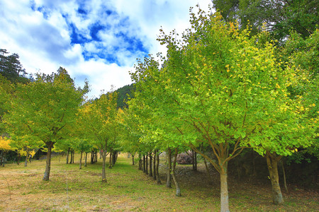 Beautiful scenery of green with yellow Ginkgo trees in autumn, Maidenhair trees