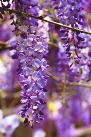 Purple wisteria flowers beautiful scenery of purple with yellow purple wisteria flowers beautiful scenery of purple with yellow flowers and buds blooming in the mightylinksfo