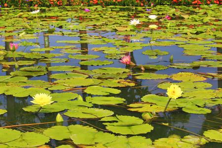 Hermoso paisaje de flores y hojas acuáticas en el estanque en verano