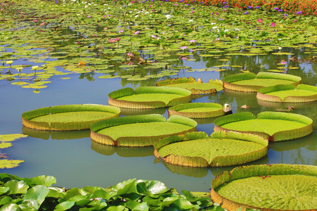 Beautiful scenery of santa cruz waterlily and cloth bag lotus flowers and leaves in the pond in summer