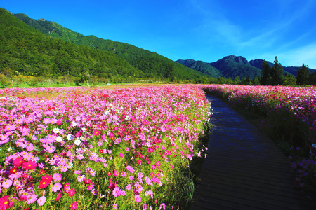 Beautiful scenery of cosmos flowers with path, many pink, white and red flowers blooming in the field in a sunny day