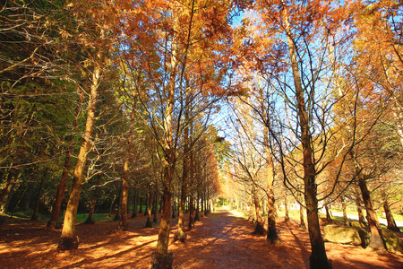 Dawn Redwood, metasequoia, beautiful autumn landscape of dawn redwood trees in a sunny day