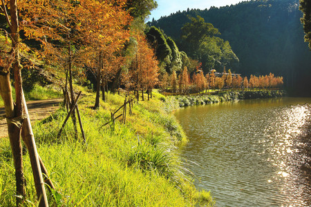 Dawn Redwood, metasequoia, beautiful autumn landscape with dawn redwood trees by the river