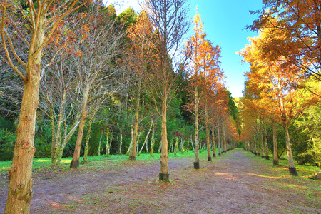 Dawn Redwood, metasequoia, beautiful autumn landscape of dawn redwood trees growing on the valley