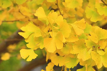 Beautiful leaves of yellow ginkgo trees in autumn, closeup