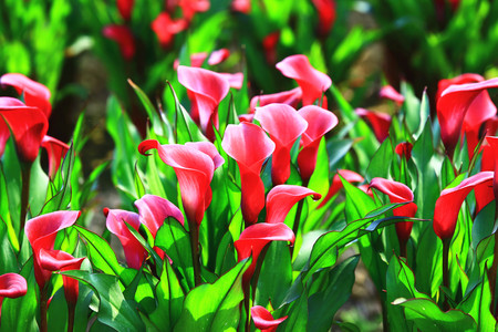 Calla lily field closeup,beautiful red flowers of calla lily blooming in the garden in spring,Arum lily,Gold calla