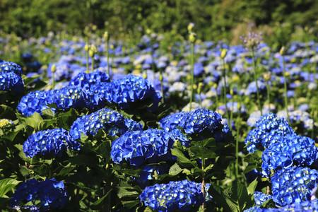 Hydrangea flowers fieldbeautiful landscape of blue with yellow hydrangea flowers fieldbeautiful landscape of blue with yellow flowers blooming in the garden in mightylinksfo