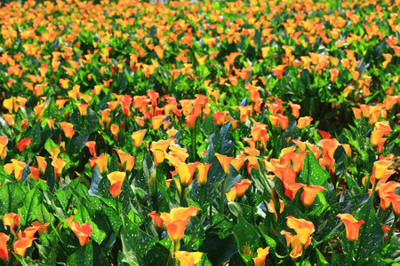 Beautiful landscape of yellow with orange flowers of calla lily blooming in the garden Stock Photo