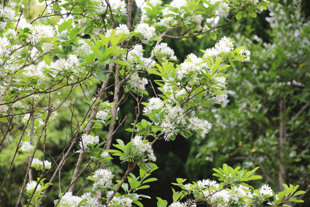 Flowers of Chinese fringe tree,many beautiful white flowers blooming on the branch of Chinese fringe trees in spring