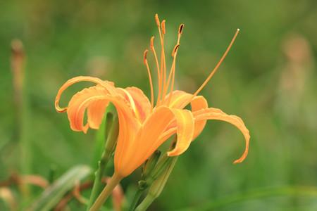 Daylily(Hemerocallis fulva, Orange Daylily) flower and buds,orange daylily flower blooming in the field