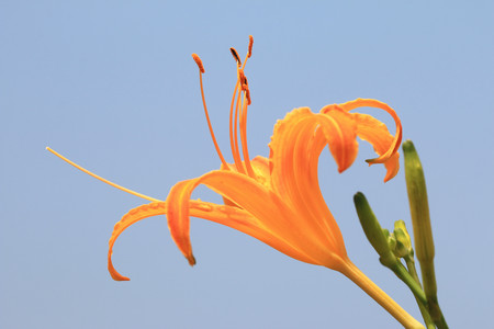 Daylily(Hemerocallis fulva, Orange Daylily) flower and buds,orange daylily flower blooming in the field with blue sky background Stock Photo