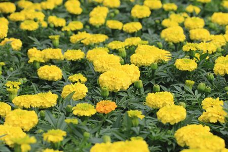 Chrysanthemum flowers, many beautiful yellow flowers and buds blooming in the garden