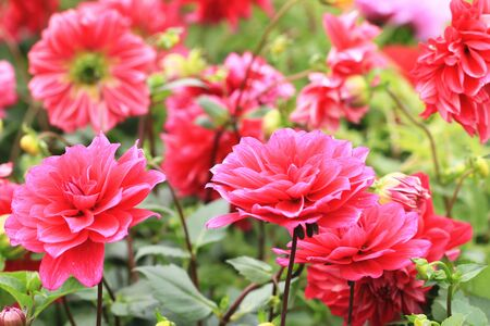 Dahlia flowers, beautiful red dahlia flowers blooming in the garden