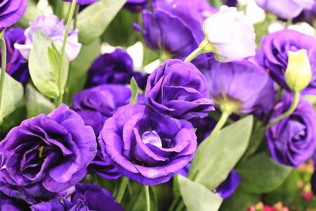Purple roses, beautiful purple with blue roses blooming in the garden in spring Stock Photo