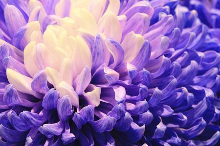 Chrysanthemum flowers close-up, beautiful blue with purple flowers blooming in the garden in autumn Stock Photo
