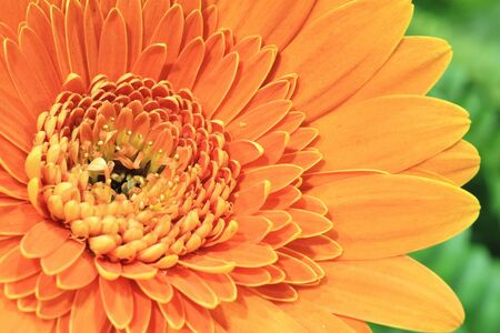 Chrysanthemum flower, close-up of orange chrysanthemum flower blooming in the garden
