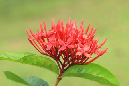 Chinese Ixora (Jungle Flame, Jungle Geranium, Flame of the Woods, Dwarf Ixora) flower, close-up of red flower blooming in the garden Stock Photo
