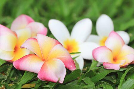 Frangipani flowers, beautiful white with yellow frangipani flowers laying on the meadow Stock Photo
