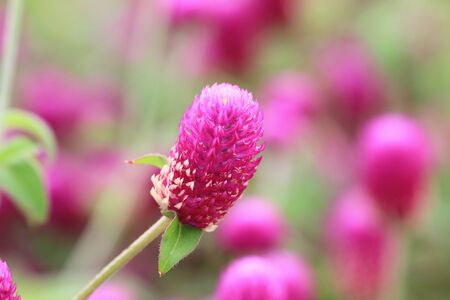 Bachelor's Button (Globeamaranth) flower, beautiful view of peach flowers blooming in the garden Stock Photo