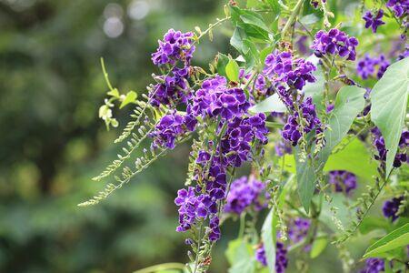 Golden Dewdrop (Honey Drops, Pigeon Berry) flowers, beautiful purple flowers blooming in the garden
