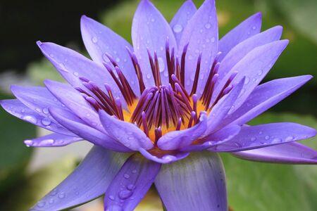 Lotus flower close-up, beautiful purple lotus flower blooming in the pond in summer