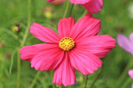 Cosmos flower,closeup of red cosmos flower blooming in the garden (Common Cosmos,Cosmos bipinnata Hort,Coreopsis formosa Bonato) Stock Photo