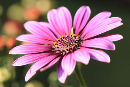 Blue-eyed Daisy flower closeup, beautiful purple with white flower blooming in the garden (Cape Daisy, Trailing African Daisy, African Daisy, Spoon Daisy) Stock Photo