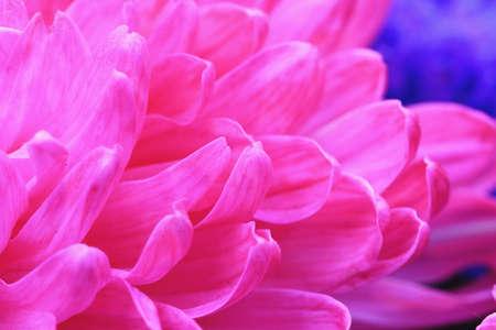 Chrysanthemum flower macro, beautiful pink flower in full bloom in the garden Stock Photo