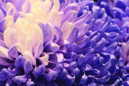 Chrysanthemum flower macro, beautiful purple with white flower in full bloom in the garden