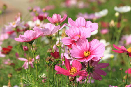 Cosmos flowers field,many beautiful pink and purple flowers blooming in the garden (Common Cosmos,Cosmos bipinnata Hort,Coreopsis formosa Bonato)