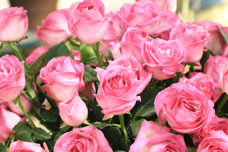 Pink roses,beautiful roses blooming in the garden,closeup Stock Photo