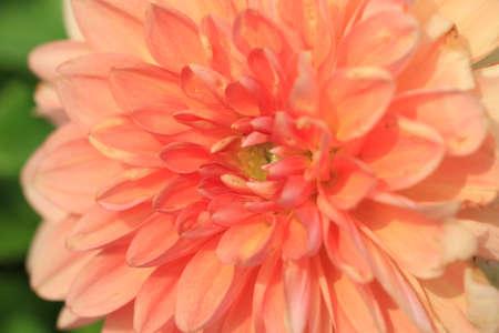 Dahlia flower macro, orange with yellow dahlia flower in full bloom in the garden