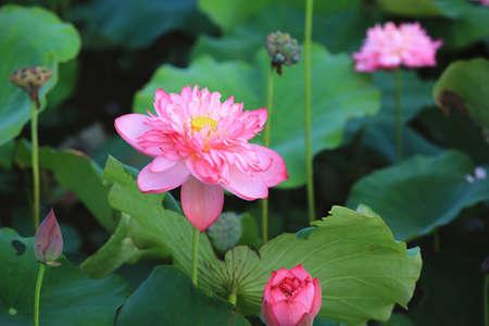 Peony Lotus flowers close-up, beautiful pink peony lotus flowers blooming in the pond