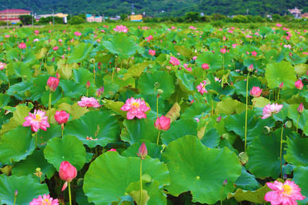 Beautiful landscape of peony lotus flowers blooming in the pond Stock Photo