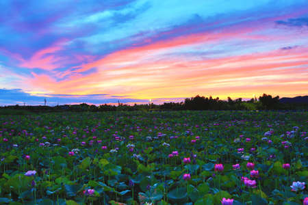 Beautiful dawn landscape with peony lotus flowers blooming in the pond
